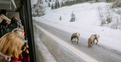 Must-do: Winter Wildlife spotten in Jasper National Park