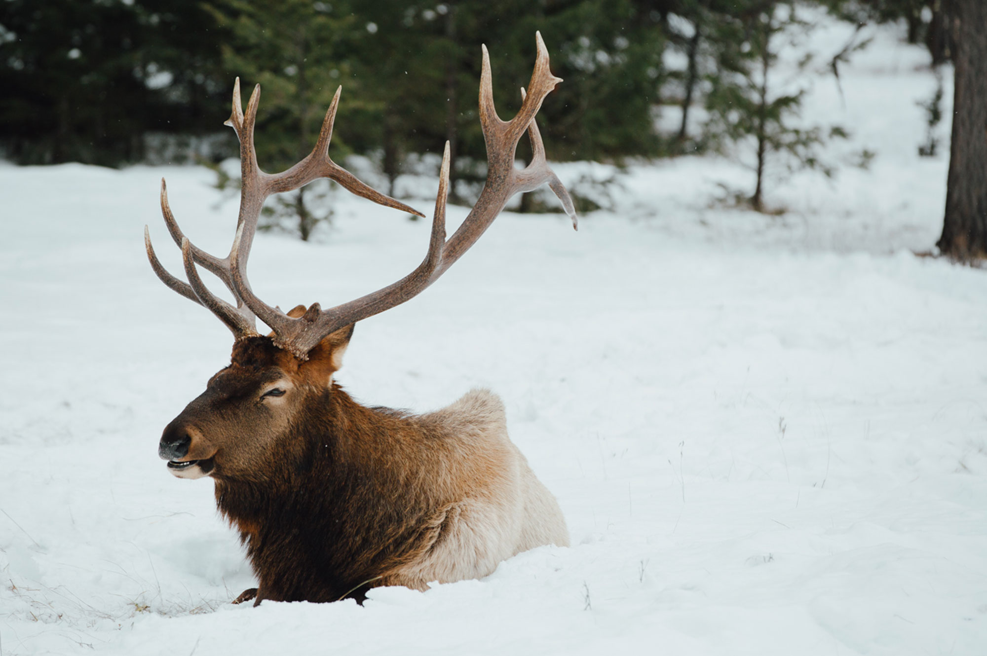 Wildlife in Jasper National Park